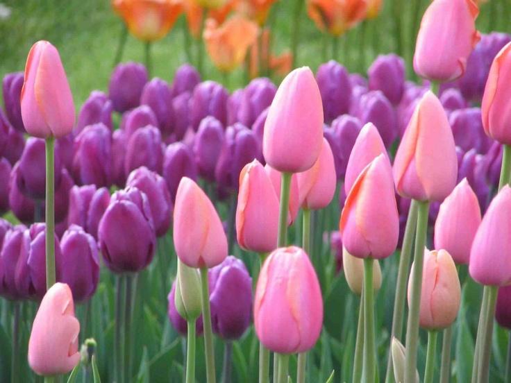 Tulips Beautiful Gardens Flowers Pinterest