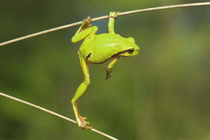 Lime green tree frog | Frogs, turtles and snails | Pinterest