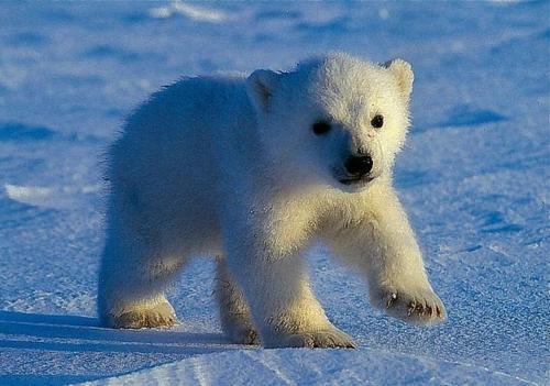 cute real baby polar bears