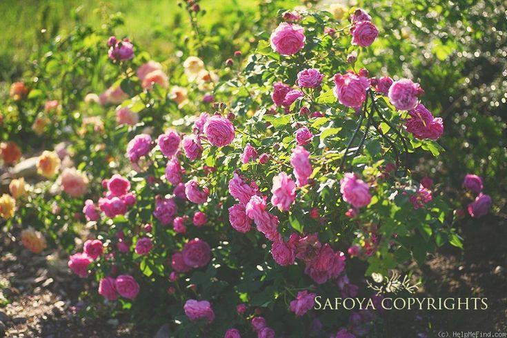 39 louise odier 39 rose photo summer love pinterest. Black Bedroom Furniture Sets. Home Design Ideas