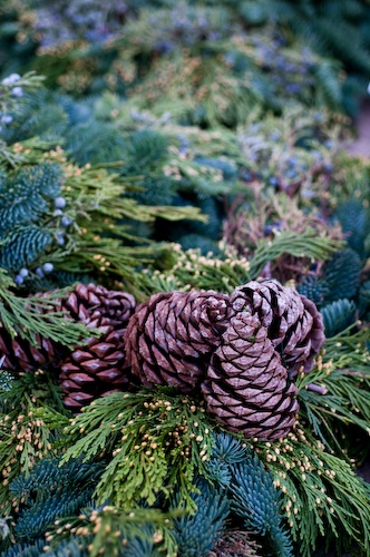 Fresh-cut boughs and cones of Western Red Cedar and Fir are a great    Western Red Cedar Cones