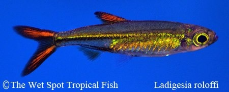 Ladigesia roloffi ?Jelly Bean Tetra? Freshwater Fish: Characins ...