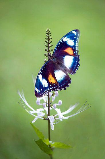 common eggfly butterfly by JennyDean