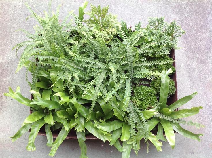 Ferns...bird nest, lemon button. Moss...pincushion, cypress. Ruffled Birds Nest Fern