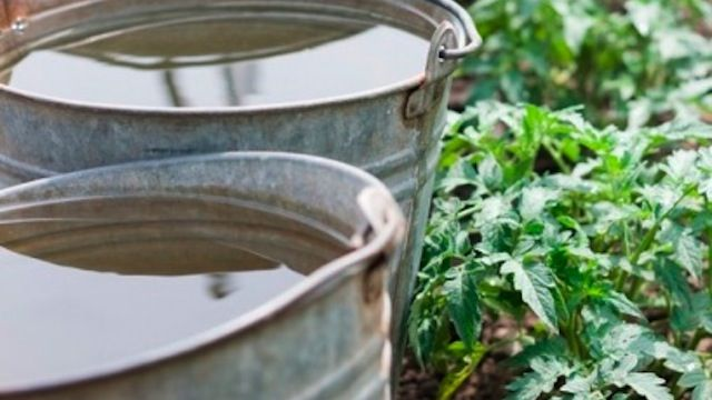 Keep Your Plants Warm Over a Chilly Night with a Bucket of Water