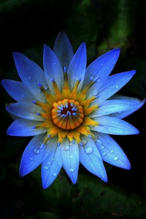 Blue Water Lilly | Water lilies | Pinterest