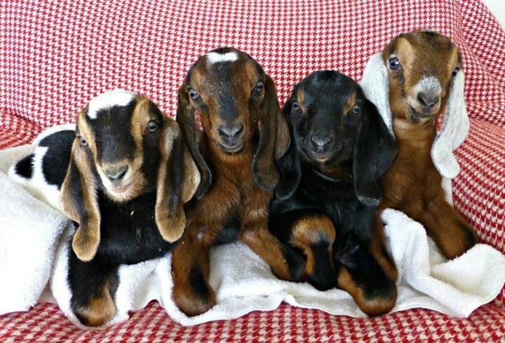 Baby Nubian Goats | Dairy Goat Dreams | Pinterest