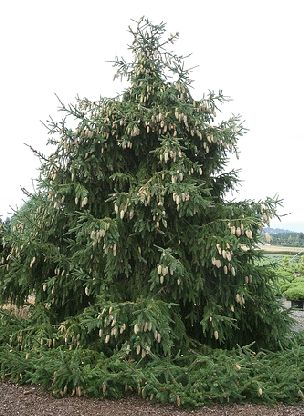 Acrocona norway spruce picea abies trees pinterest