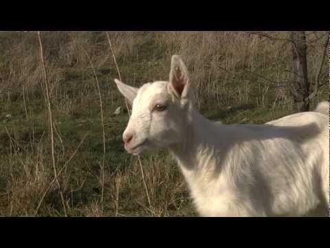 Meet Scribbles the baby goat!