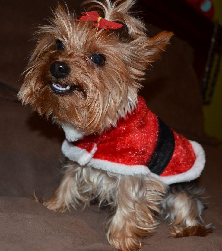 Christmas Yorkie (My Leeloo)   Puppy Love   Pinterest Yorkie