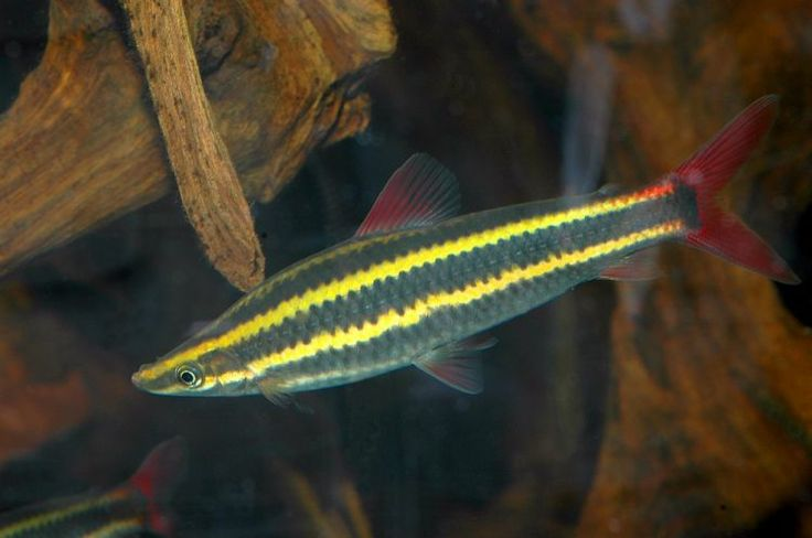 Striped Headstander Awesomely Aquatic Pinterest
