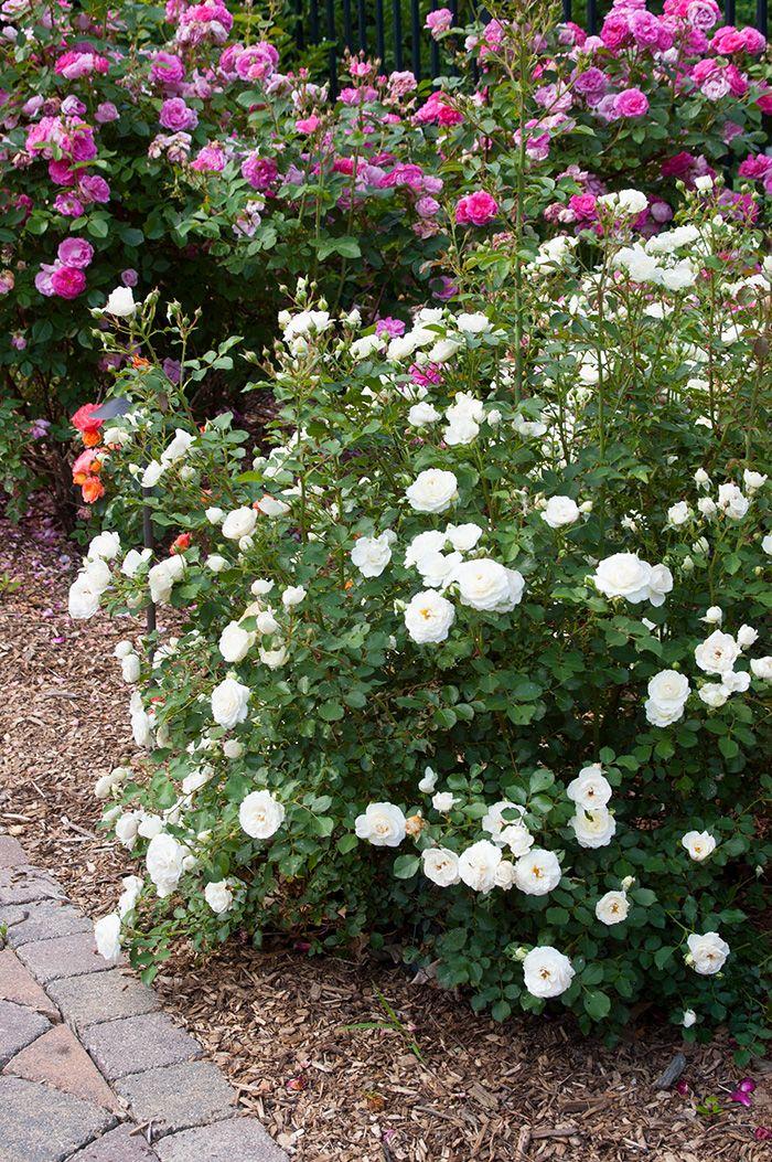 Snowdrift Rose Bush Outdoor Ideas Pinterest