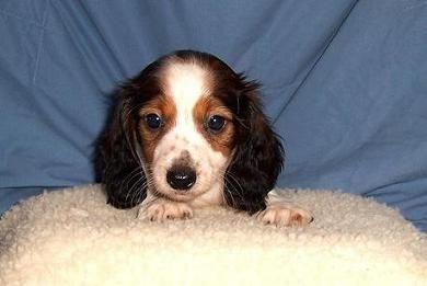 piebald dachshund - Google Search   Animals   Pinterest