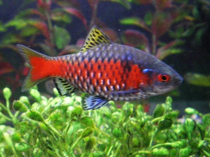 Rosy Barb (Puntius Conchonius) Underwater world Pinterest