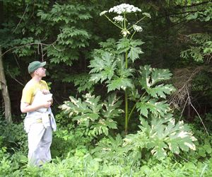 Giant Hogweed:  Do Not Touch This Plant!