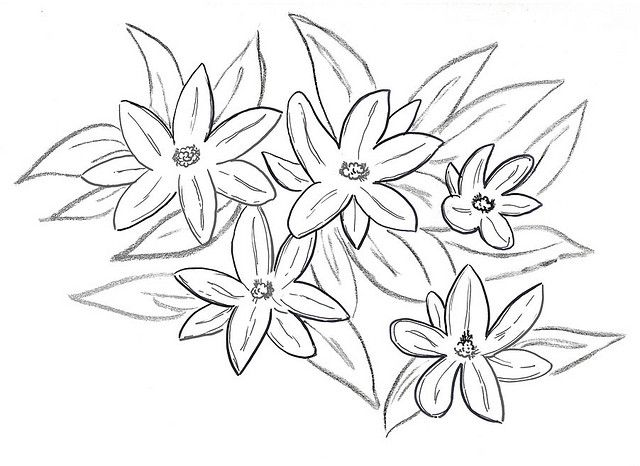 Line Drawing Jasmine Flower : Jasmine flowers sketch pinterest