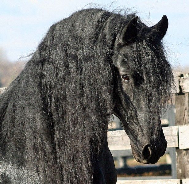 Black Friesian Stallion ;)