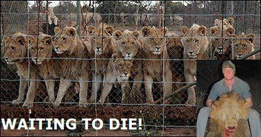 """HELP STOP LION SLAUGHTER IN SOUTH AFRICA! Upwards of 5,000 lions are currently being held in captivity at these farms.This outright slaughter is referred to as """"canned hunting"""". Lions are taken from their pens to an enclosed area where they have no chance of escape before being shot dead by a """"hunter"""", usually standing safely on the back of a truck. The farms target wealthy trophy-hunters (COWARDS) who will pay big $$$$ for the chance to kill a captive tiger & take a photo with the carcass."""