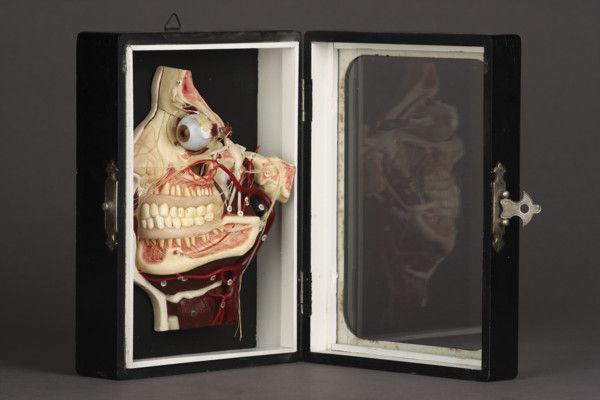 German Anatomical Écorché Wax Model of the Human Head (1800 to 1900)