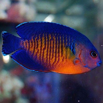 Coral Beauty | Reef Tank | Pinterest