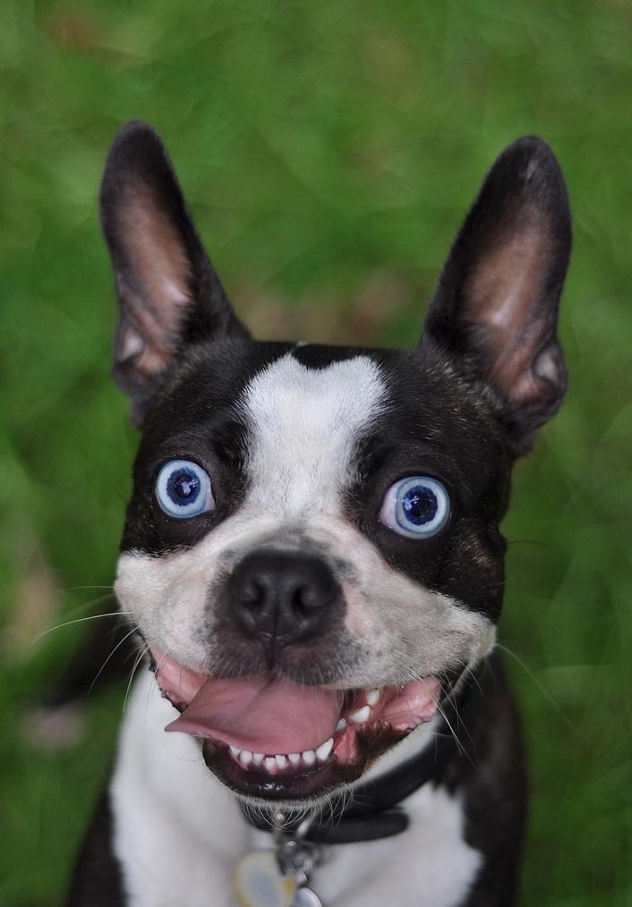 Blue eyed dog breeds - photo#19
