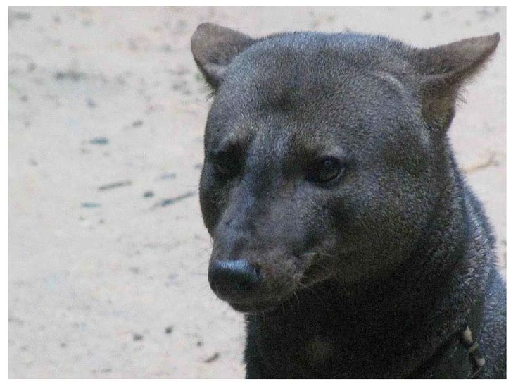 unique and elusive canid species endemic to the amazonian basin this ...