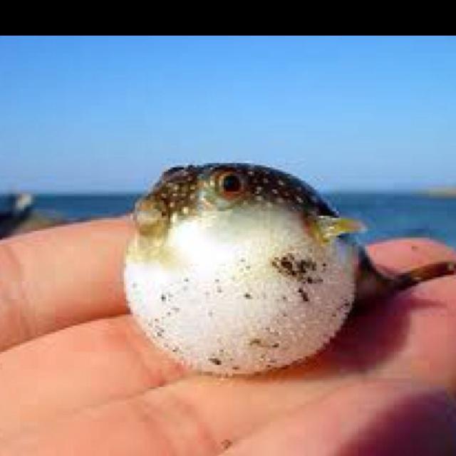 puffer fish pets pinterest