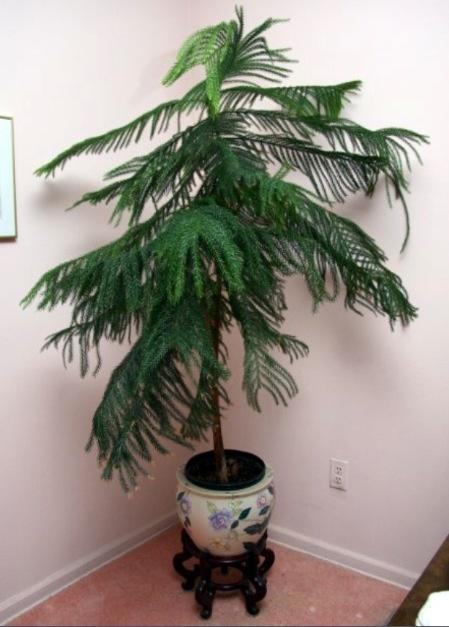 norfolk pine houseplants pinterest. Black Bedroom Furniture Sets. Home Design Ideas