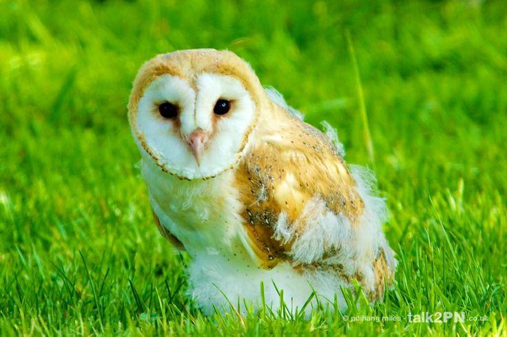 Baby Owls Baby Barn Owl Owl Stuff Pinterest