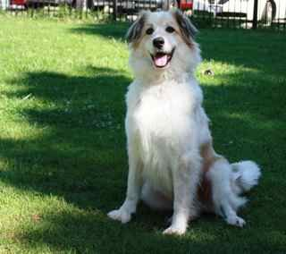 Border Collie Mix With Great Pyrenees | Dog Breeds Picture