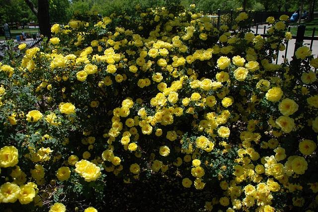 Yellow rose bush | Beautiful Flowers and Plants | Pinterest