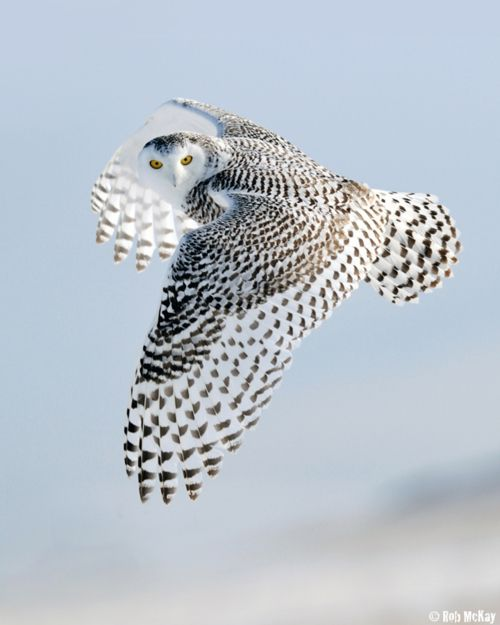 "Photo ""Snowy Owls Look"" by Rob McKay"
