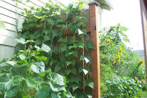 Vertical Gardening Simple Vegetable Trellises The Gardener