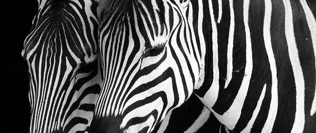 Cool Images of Zebras