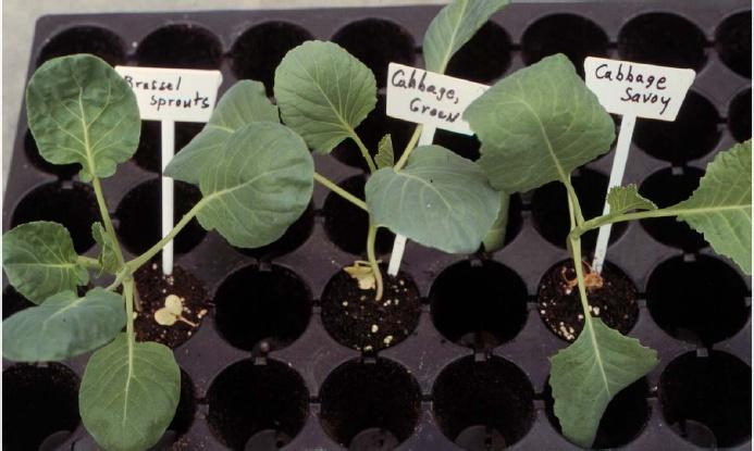 Vegetable Seedling Identification