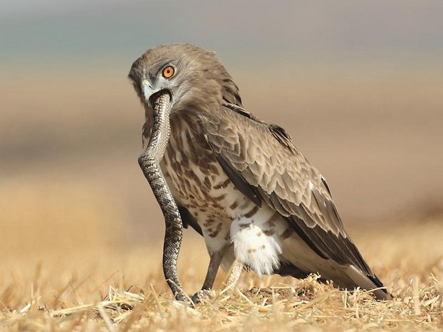 Afternoon snack hawk eating snake nature pinterest