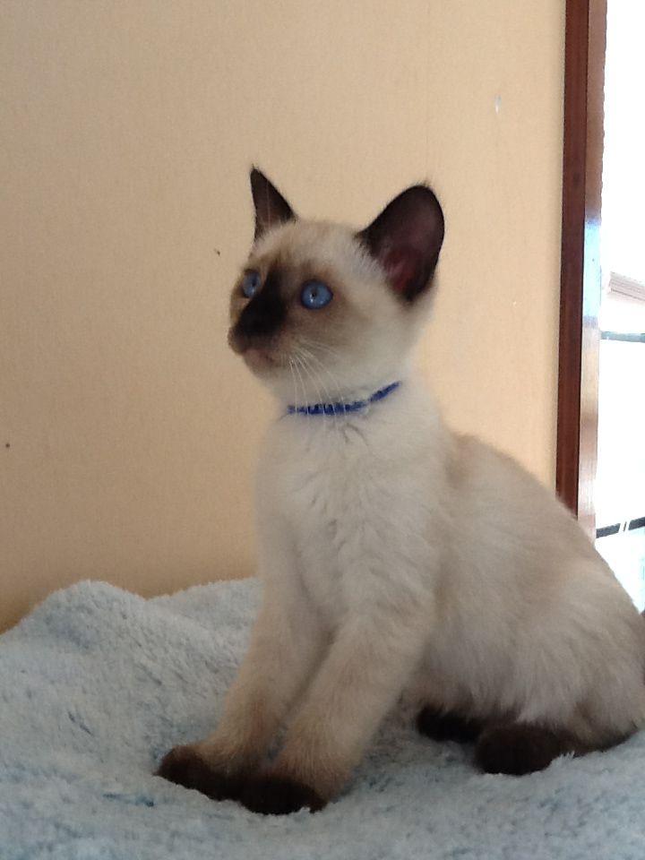Seal point StormHaven Siamese kitten | StormHaven Kittens ...