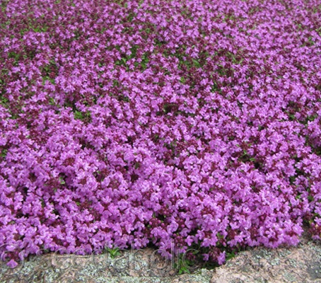 Thymus serpyllum 'Creeping Thyme' groundcover - can be walked on! Aka purple lawn??