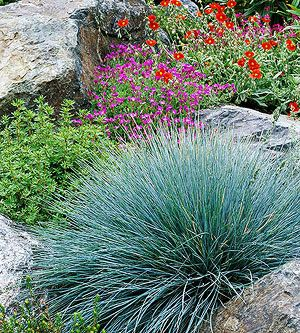 Blue fescue ornamental grass border outside beauty for Tall grass border