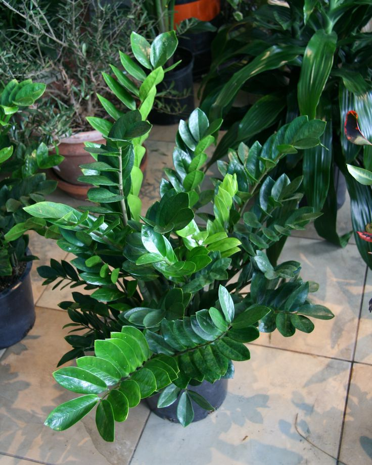 Zz plant plants i love pinterest for Good low maintenance indoor plants