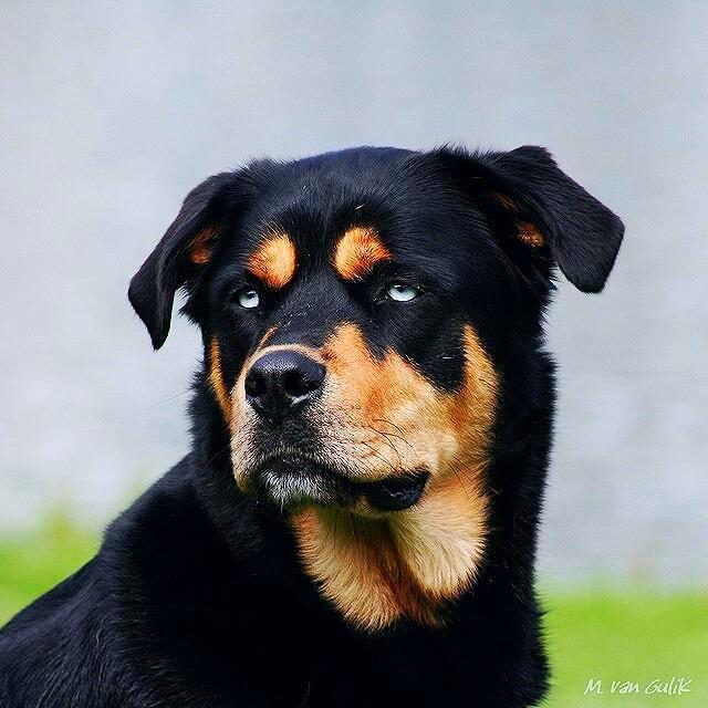 rottweilersSiberian Husky Rottweiler Mix