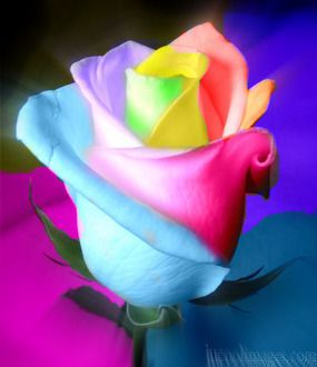 Rainbow rose budding with color bubbly blue y for How to color roses rainbow