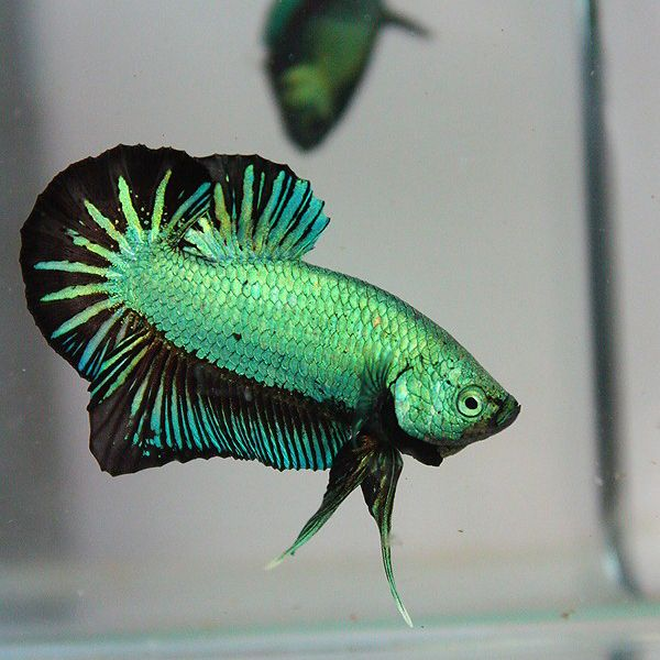 Green orchid halfmoon plakat Betta Pinterest