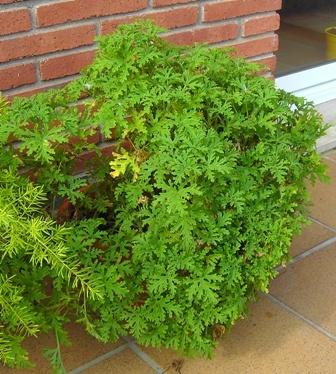 Planta citronela