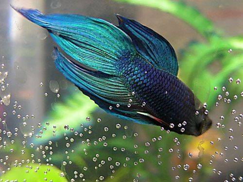 Beautiful betta fish something fishy pinterest for Prettiest betta fish
