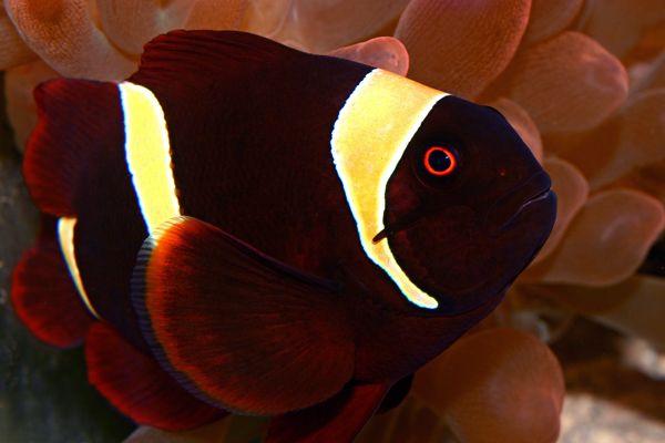 Gold Striped Maroon ClownYellow Stripe Maroon Clownfish