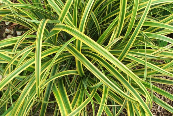 Variegated grasses ornamental grasses pinterest for Variegated grass plant