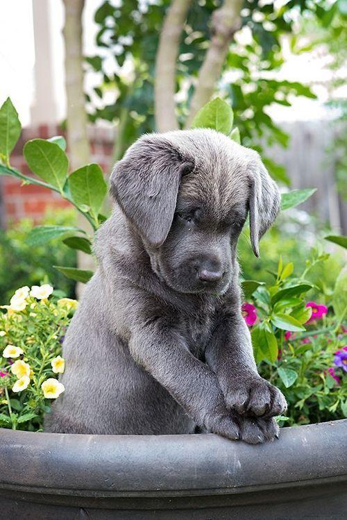 Charcoal Labrador   Une vie de chien !   Pinterest