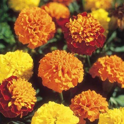 DWARF FRENCH DOUBLE MIX quot  MARIGOLD-Seeds        Vivid   Patio  Lawn    French Marigold Dwarf
