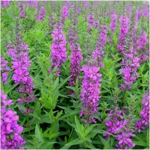 Tall Growing Perennials Flowers And Gardening Pinterest